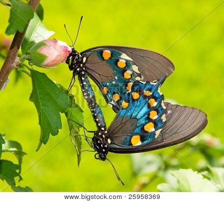 Two Green Swallowtails mating in an Althea bush
