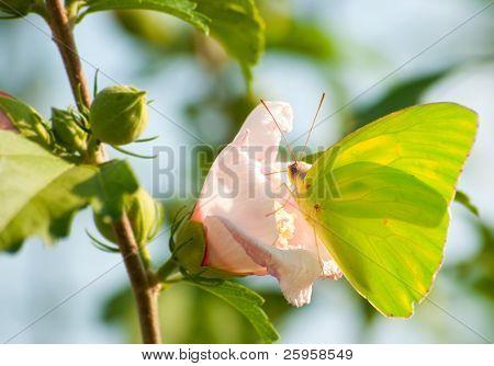 Cloudless Giant Sulphur feeding on Althea flower
