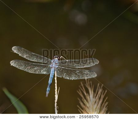 Swift Long-winged Skimmer dragonfly perching on a dry stem