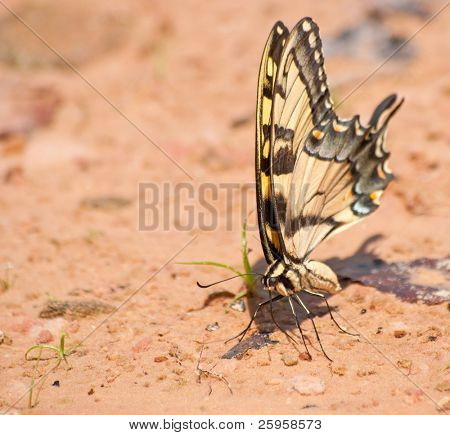 Eastern Tiger Swallowtail butterfly on a natural beach looking for minerals to feed on