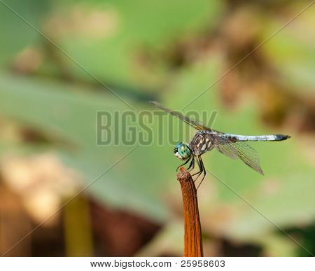Swift Long-winged Skimmer dragonfly resting on a stem