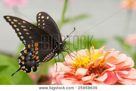 Beautiful Eastern Black Swallowtail on a light pink Zinnia