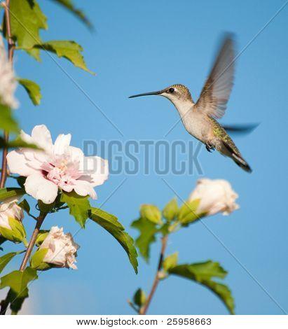 Female Ruby-throated Hummingbird hovering