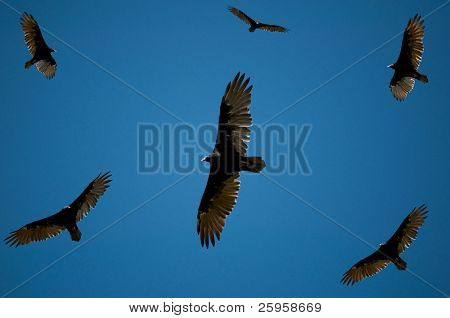 Vultures looking for food, soaring against deep blue sky