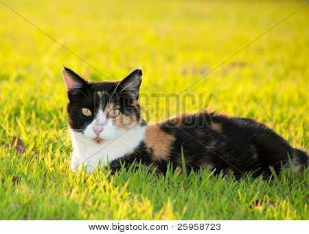 Beautiful, colorful calico cat in grass in bright sunshine