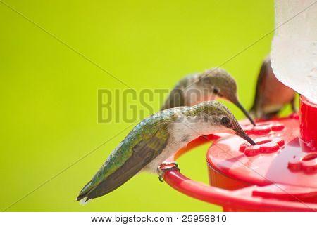 Hummingbirds home for dinner, eating nectar at the feeder