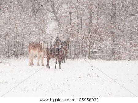 Four horses in a very heavy snowstorm, getting covered in snow