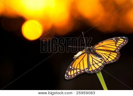 Brilliant Viceroy butterfly resting on a flower against colorful sunset