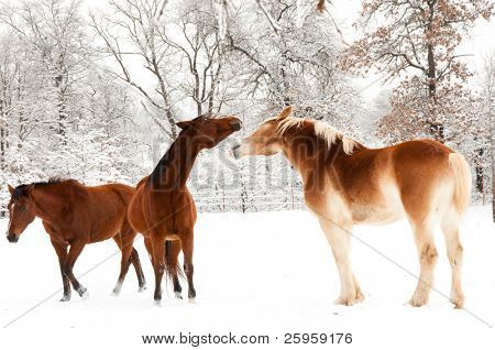 Two horses playing in snow, a small Arabian and a large Belgian Draft horse, with a third horse walking by