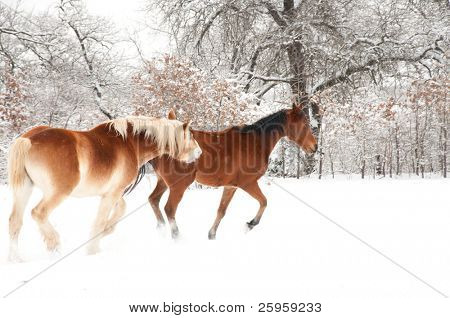 Belgian Draft horse biting another horse while playing in snow