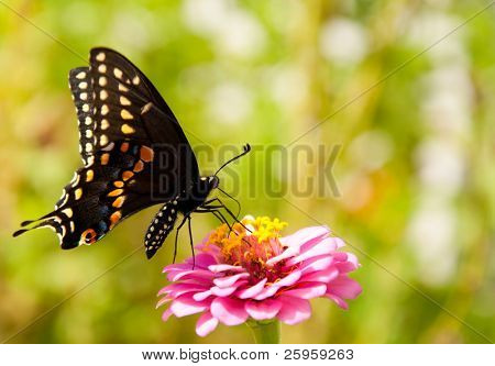 Ventral view of an Eastern Black Swallowtail feeding on a Zinnia flower against green background