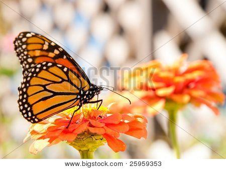Reabastecimiento de combustible en un naranja Zinnia migración de la mariposa monarca