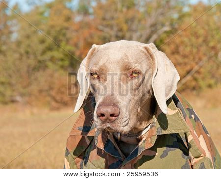 Funny image of a Weimaraner dog wearing a camouflage shirt, like a member of a guerrilla movement