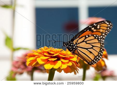Migrating Monarch butterfly feeding on a bright orange Zinnia in a garden