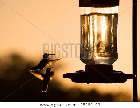 Silhouette of a Hummingbird hovering, getting ready to feed at feeder at sunset, in sepia tone