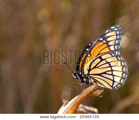 Viceroy butterfly perched on an autumn leaf