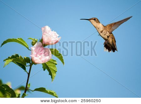Beautiful female Ruby-throated Hummingbird hovering close to a light pink Althea flower