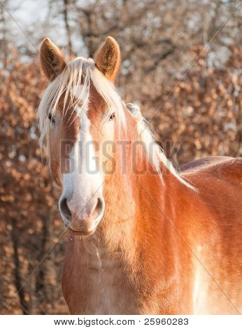 Beautiful Belgian Draft horse watching the viewer with an alert look in fall pasture