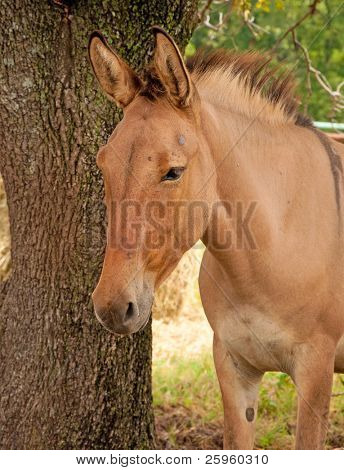 Beautiful red dun mule