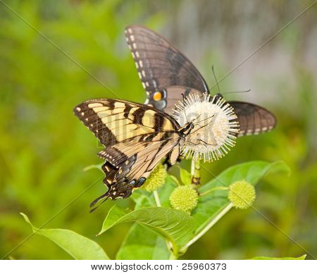 Yellow Eastern Tiger Swallowtail butterfly feeding on a buttonbush flower with an all black version of same species on the background
