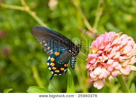Ventral view of a Pipevine swallowtail butterfly, Battus philenor, feeding on a pink flower