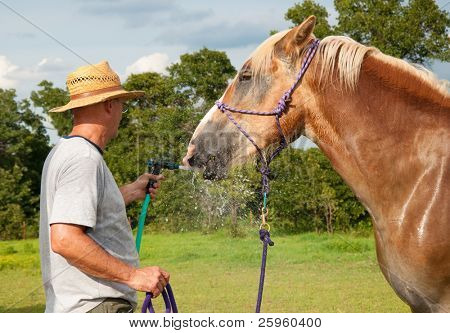 Sweaty Belgian Draft horse stealing a drink of water from water hose  on a hot summer day