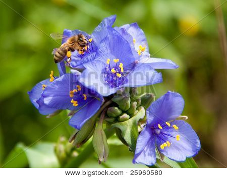 Tiny bee collecting nectar in purple Spiderwort flowers