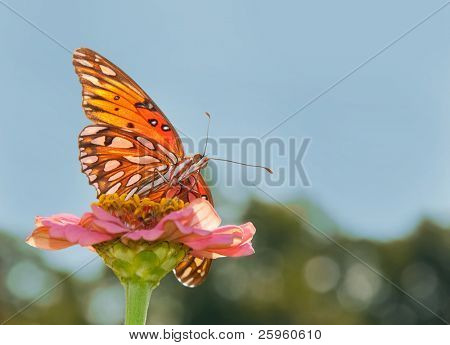 Ventral view of a beautiful orange silver and black Gulf Fritillary butterfly feeding on a flower against blue sky
