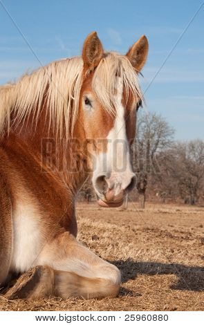 Belgian Draft horse taking a nap in pasture, enjoying warm rays of sun on a winter day