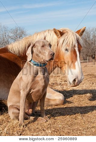 Weimaraner dog sitting next to his resting friend, a huge Belgian Draft horse