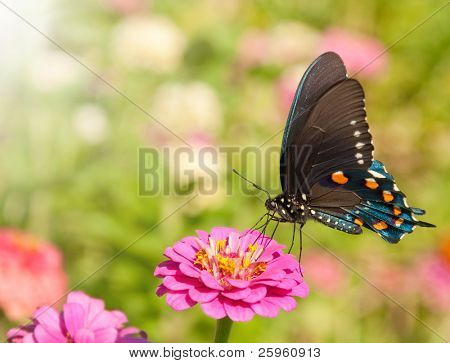 Blue iridescent Pipevine Swallowtail, Battus philenor, feeding on a hot pink Zinnia against a garden background