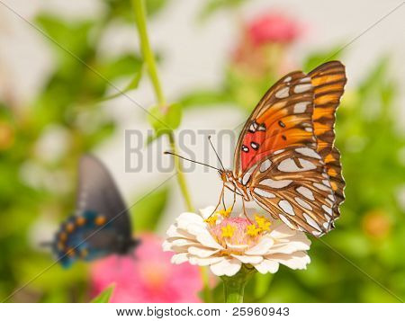 Gulf Fritillary butterfly feeding on a pale Zinnia flower