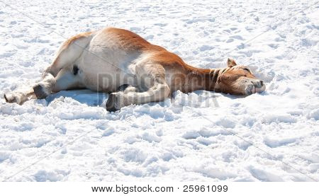 Belgian Draft horse lying down in snow, taking his nap in sun on a cold winter day