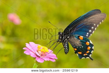 Iridescent blue Green Swallowtail feeding on a Zinnia in summer garden