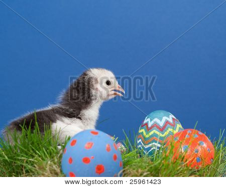 Cute bi-colored Easter chick in grass with colorful hand painted Easter eggs, on blue textured background