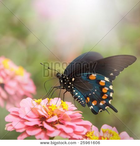 Dreamy image of a Green Swallowtail butterfly on a pink Zinnia