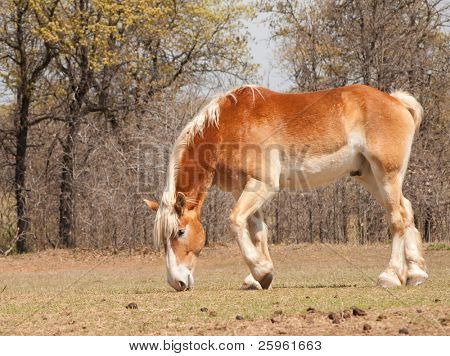 Belgian Draft horse nibbling on emerging spring grass in pasture