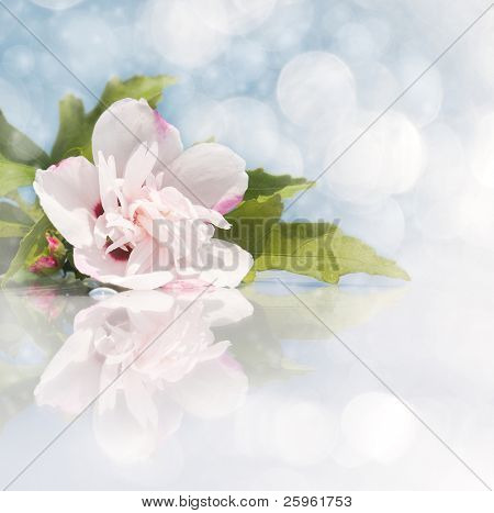 Dreamy image of a light pink Althea Hibiscus flower with reflection