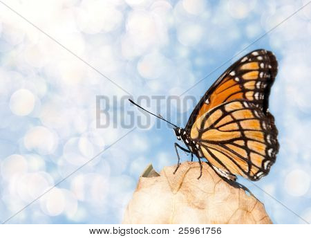 Dreamy image of a Viceroy butterfly resting on a dry leaf