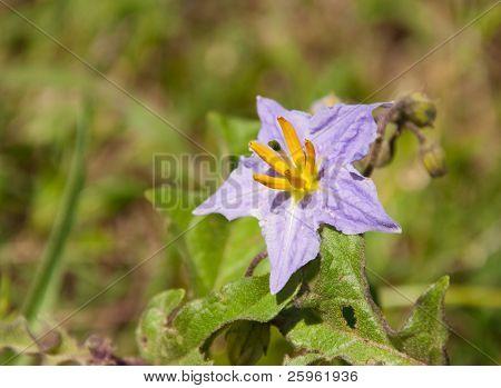 Silverleaf Nightshade, Solanum elaeagnifolium blooming in the spring