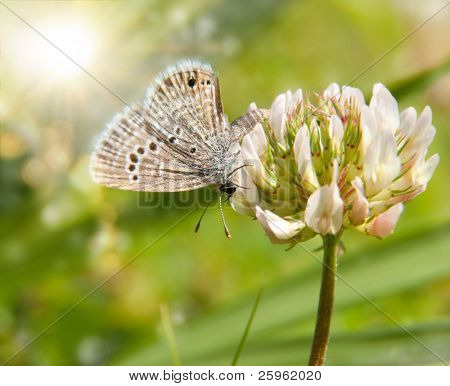 Tiny Reakirt's Blue butterfly on white clover