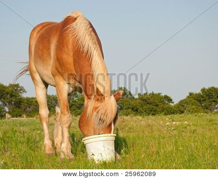 Belgian draft horse eating his grain out of a bucket in the pasture