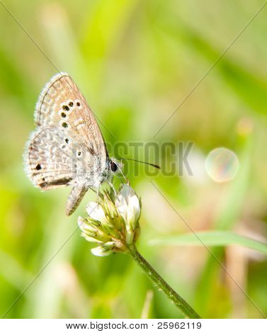 Tiny Reakirt's Blue butterfly, Echinargus isola, feeding on white clover