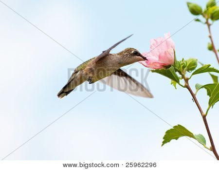 Young Hummingbird feeding on a pink Althea flower