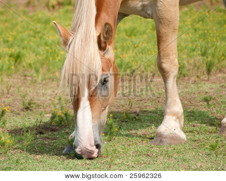 Closeup of a beautiful blond Belgian draft horse grazing in summer