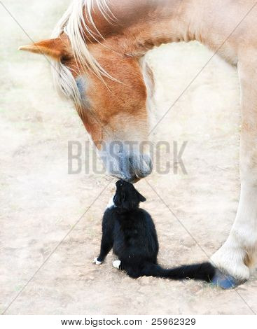 Dreamy image of friends nose to nose - huge Belgian Draft horse and a tiny black cat