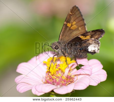 Hoary Edge butterfly on pink Zinnia