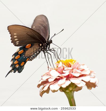 Green Swallowtail butterfly against light background