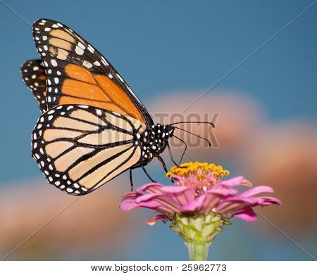 Colorful migrating Monarch butterfly feeding against blue sky