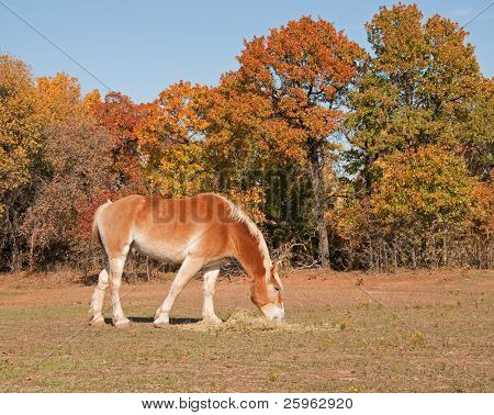 Belgian draft horse eating hay in fall pasture